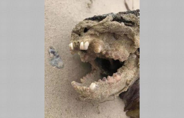Hallan monstruo en las costas de Carolina