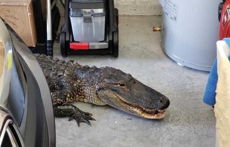 Un hombre de Florida encuentra un caimán de más de dos metros en su garaje