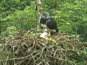 Hallan pichón de Águila Harpía en Donoso
