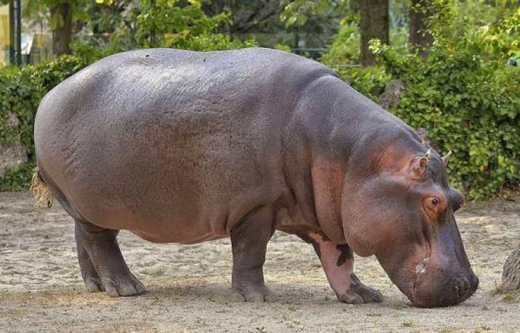 En 2050 los 4 hipopótamos de Pablo Escobar se habrán hecho miles en Colombia