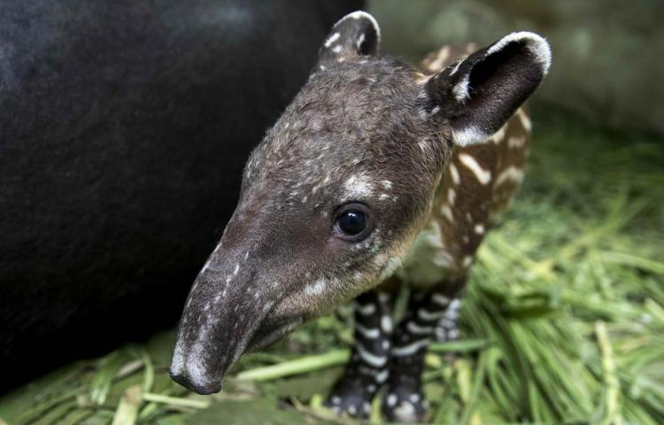 Nace en Nicaragua nuevo tapir en cautiverio, especie en peligro de extinción