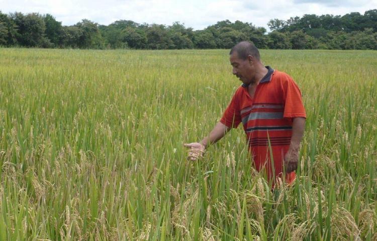 Importarán 2.3 millones de quintales de arroz