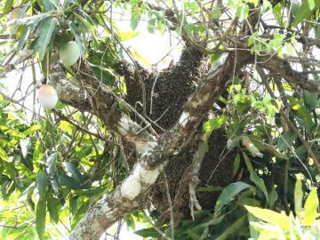 Habitantes del Sector Sur Tocumenpreocupados por abejas africanas