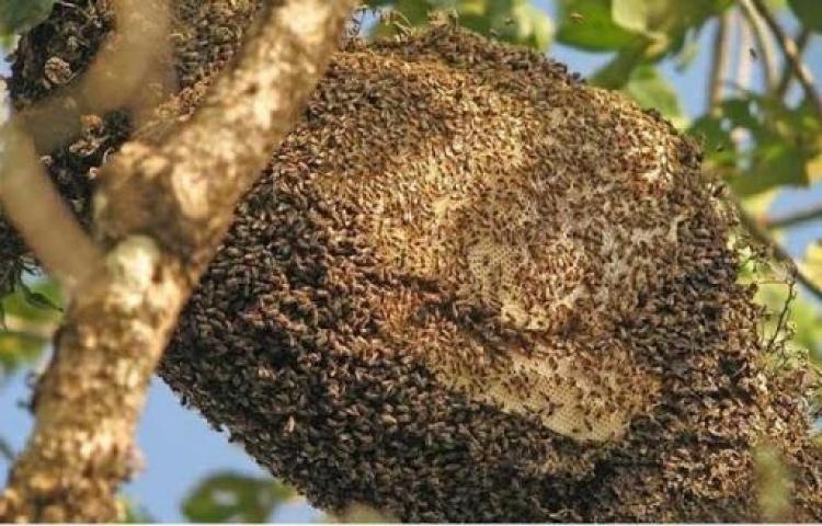 Adulto muere por picaduras de abejas