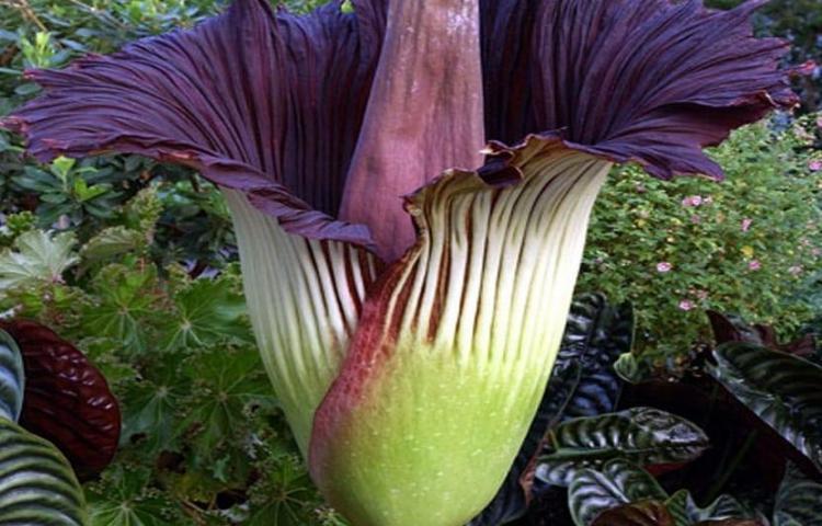 """Una especia de """"flor cadáver"""", la más grande del mundo, florece en Bélgica"""