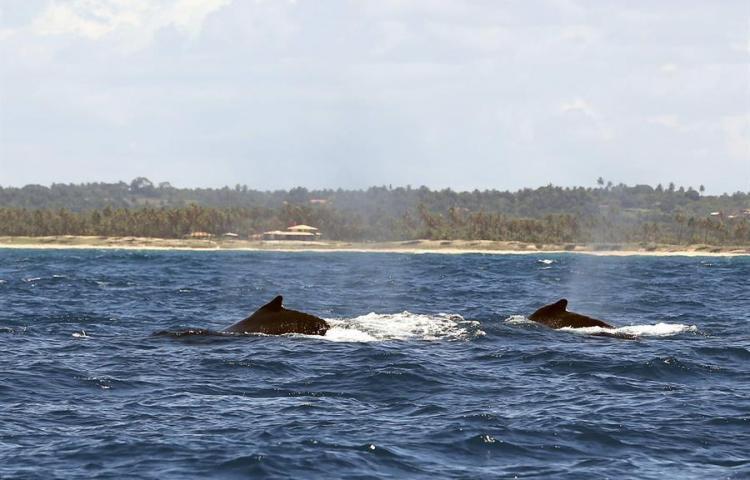Ballenas jorobadas en riesgo de muerte por choques con buques en sur de Chile