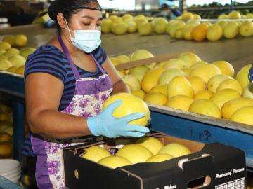 Continúan las exportaciones de sandías y melones hacía Inglaterra