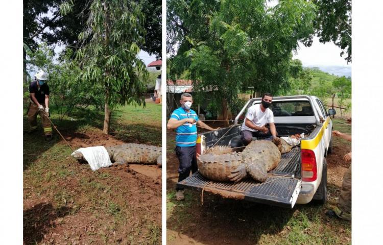 Atrapan a lagarto de 3.80 metros de largo en Guararé