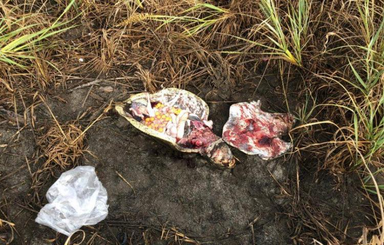 Inician investigación sobre el hallazgo de tortuga descuartizada