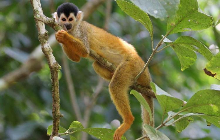 MiAmbiente rescata mono ardilla en la provincia de Chiriquí