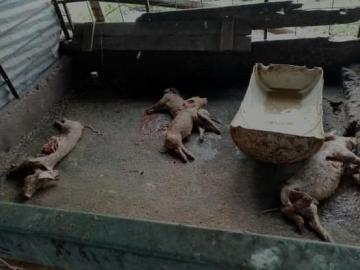 Machetearon7 lechones a familia en El Roble