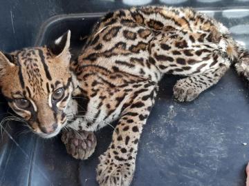 Rescatan a un felino que estaba desidratado en una finca en Boquete