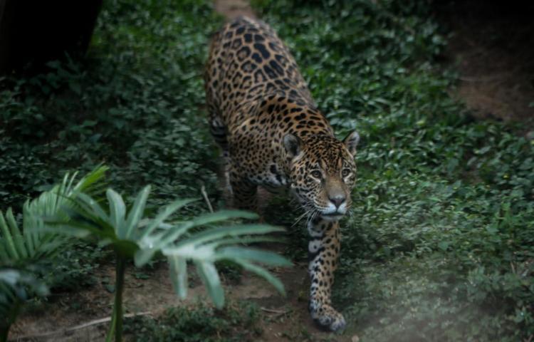 Cámaras capturan a un joven jaguar macho en el parque nacional de Costa Rica
