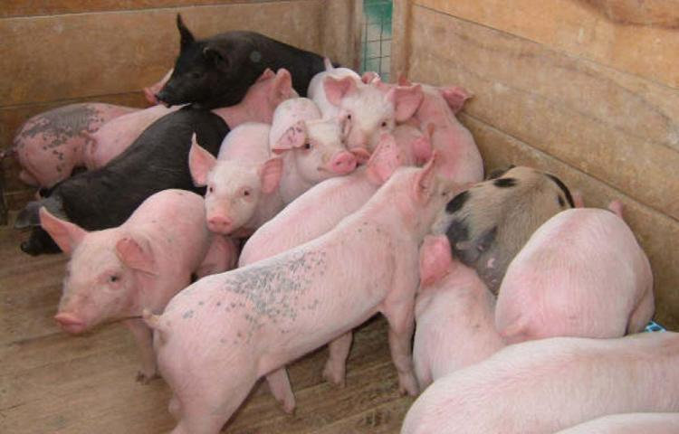 Le siguen la pista a la gripe porcina, llamada por científicos como el virus G4