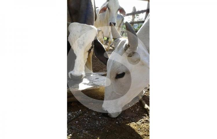 Capturan a 121 murciélagos transmisores de la rabia bovina