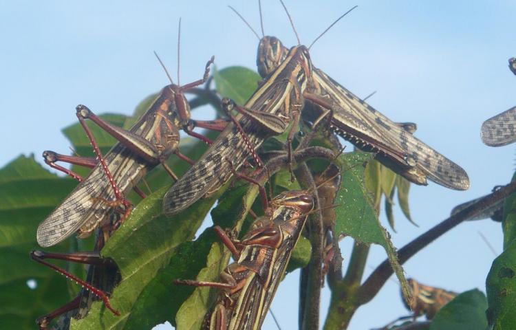 Panamá en alerta por riesgo de plaga 'Langosta Centroamérica'