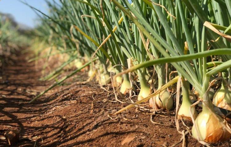 Importarán 50 mil quintales de cebolla para agosto y septiembre
