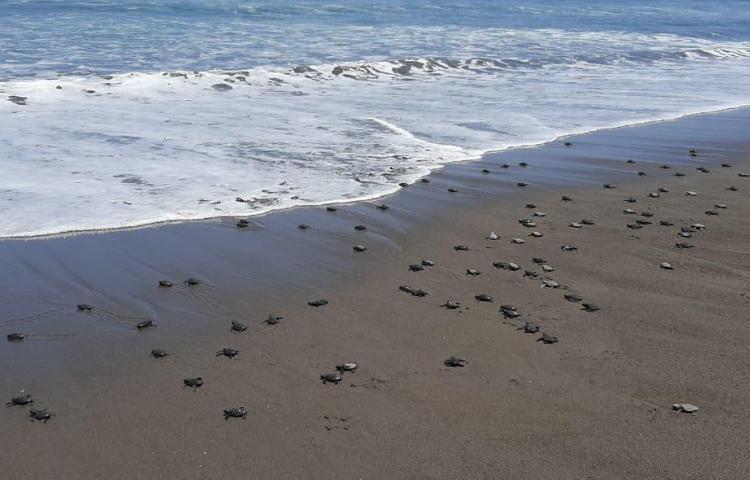 Liberan más de mil 800 neonatos y colectan más de 9 mil huevos de tortuga lora