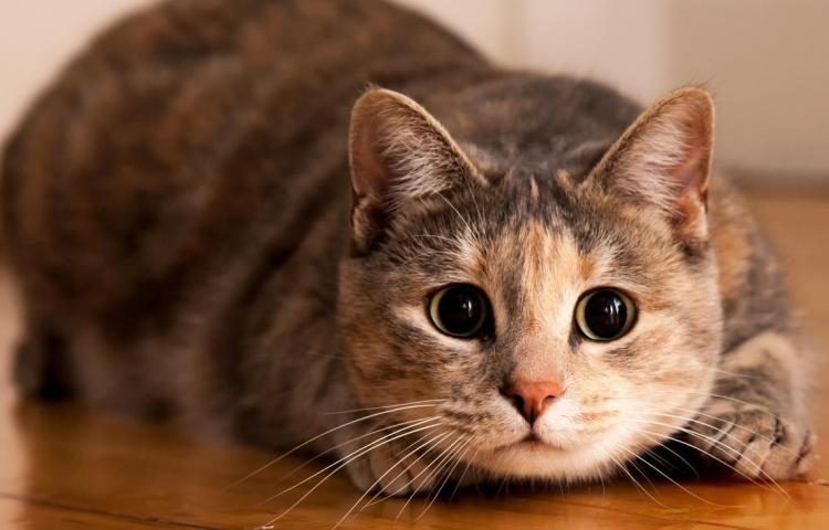 Los gatos son privilegiados con tres celebraciones