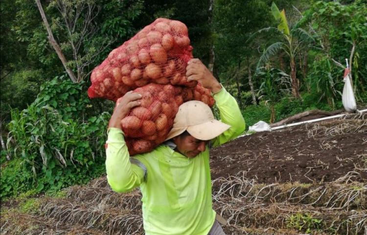 Comarca Ngäbe Buglé cosecha papas por primera vez