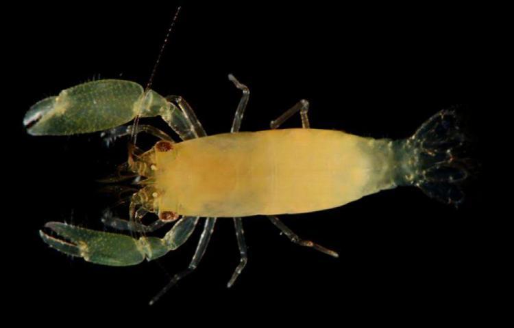 Descubren una nueva especie de camarón en isla Coiba