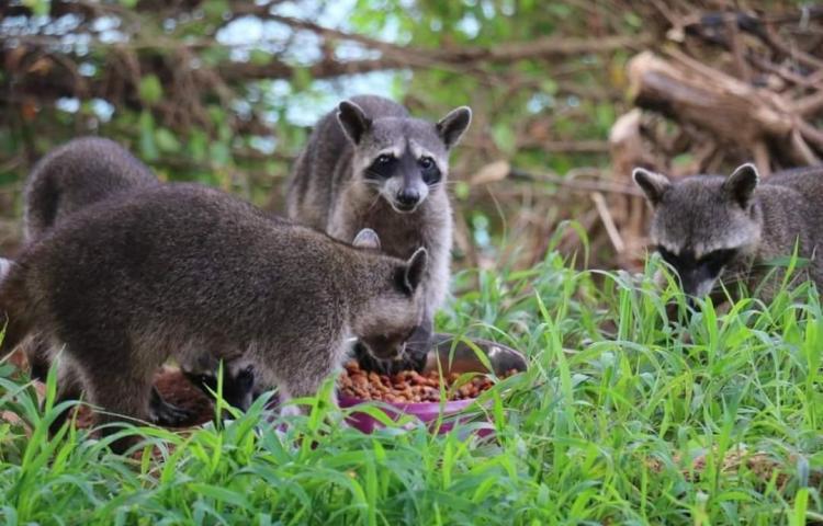 MIAMBIENTE pide a la población no alimentar a las manadas de mapaches