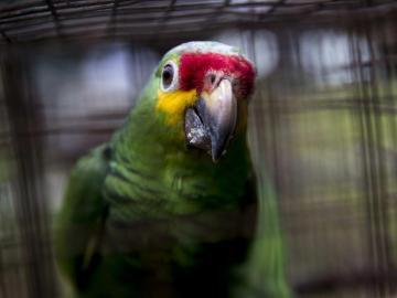 Liberan a más de medio centenar de loras tras su cautiverio en Nicaragua