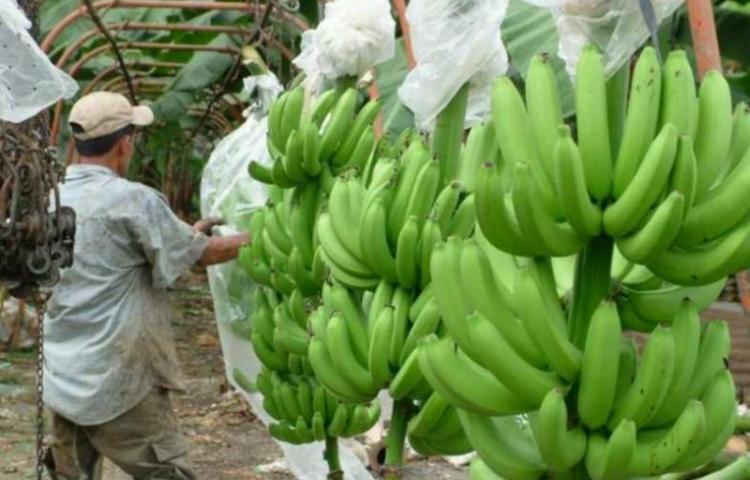 El MIDA habilita cinco empacadoras panameñas para exportar bananos a China