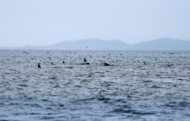 Australia lleva mar adentro los cadáveres de ballenas varadas