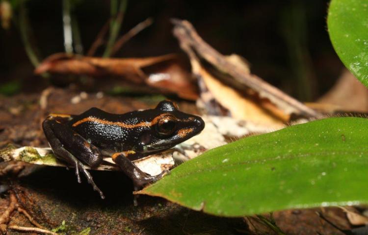 Científicos descubren alcaloides en la piel de la rana Pristimantis gaigei