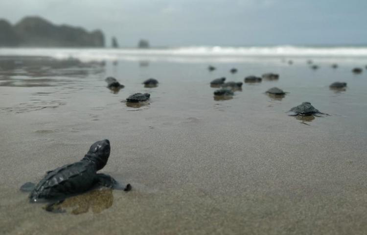 Más de cuatro mil tortugas marinas nacieron en playas del oeste de Ecuador