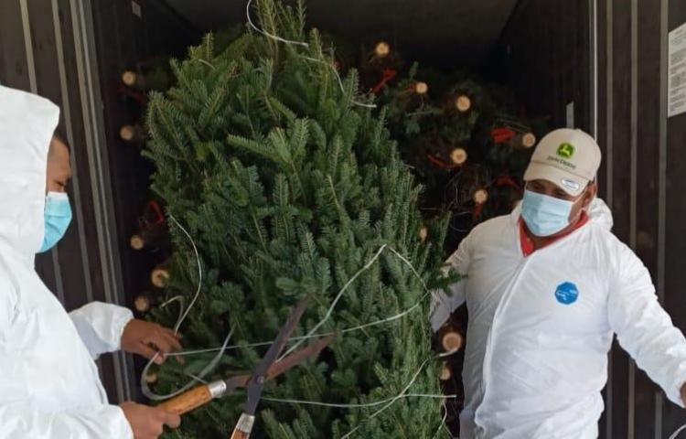 Llegan a Panamá menor cantidad de árboles de Navidad