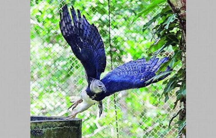 Águila Arpía valorada en 250,000 fue sacada del país