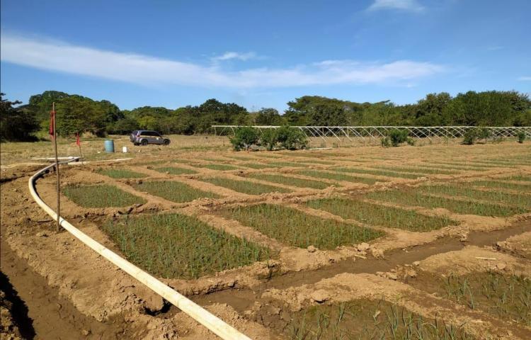Natá, es el área de mayor producción de cebolla en Coclé