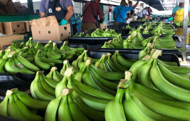 Exportaciones de banano tuvieron un crecimiento a pesar de la pandemia
