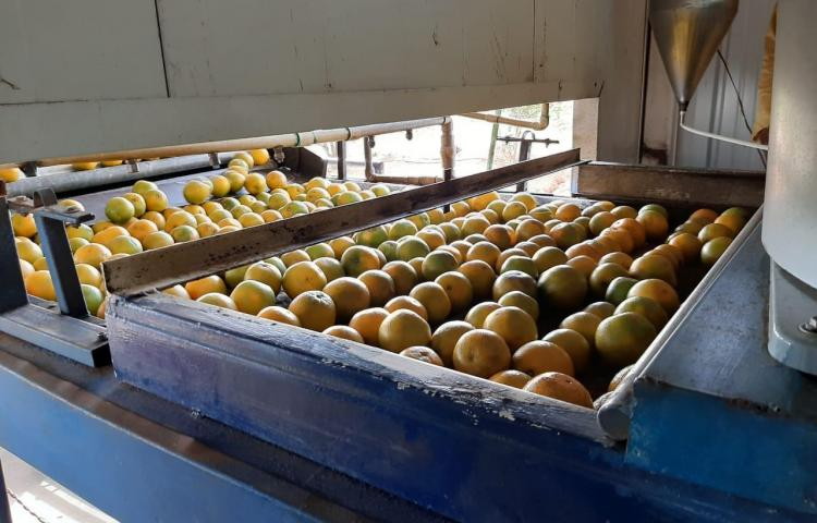 Coclé exportará naranja valencia hacia Isla Guadalupe
