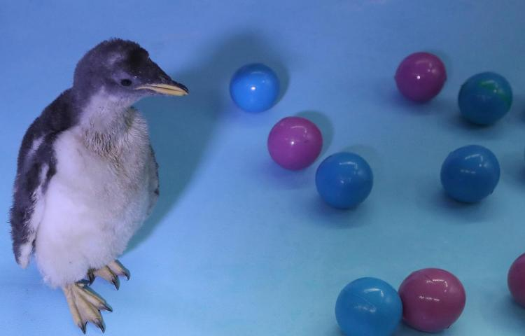Alex, primer pingüino antártico nacido en México invita a cuidar ecosistemas