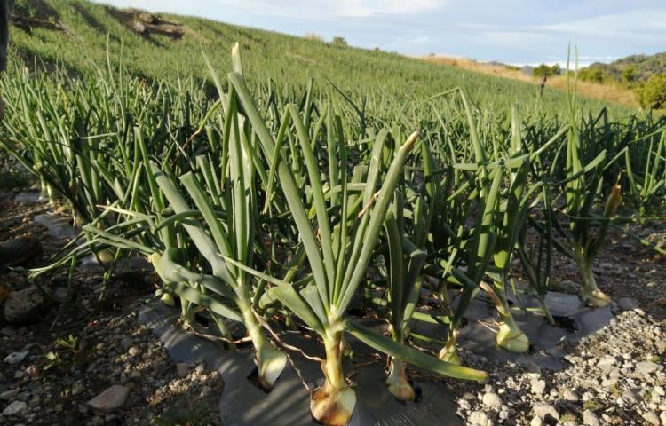 Cadena de cebolla importará 9 mil quintales para el mes de febrero