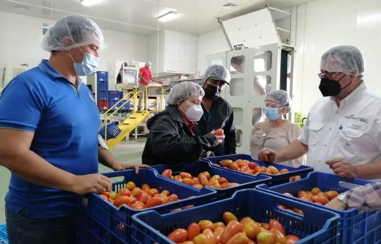 """MIDA: """"Compra de tomate a productores chiricanos supera los 50 mil dólares"""""""