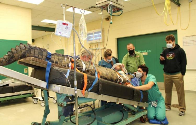 Enorme hembra de cocodrilo operada en Florida para sacarle un zapato