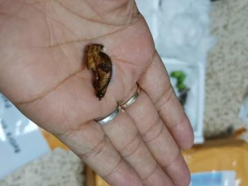 Retienen 436 crisálidas de mariposas en Paso Canoas