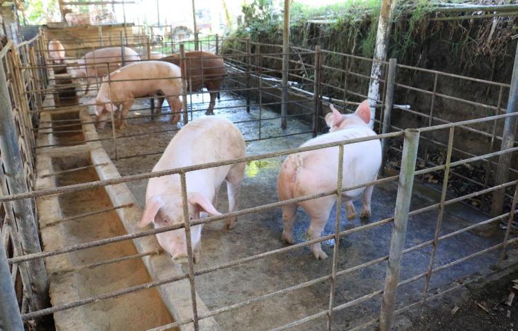 MIDA anuncia compra de un millón 100 mil libras de carne de cerdo para Panamá Solidario