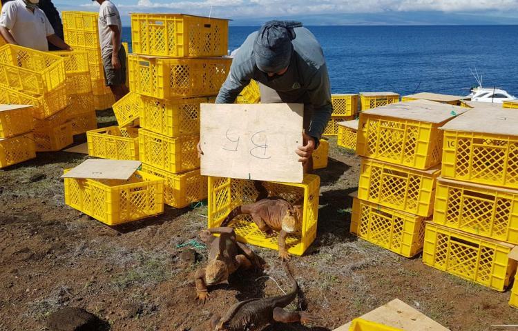 Reintegran a cerca de 500 ejemplares de iguanas extintas en la isla de Galápagos