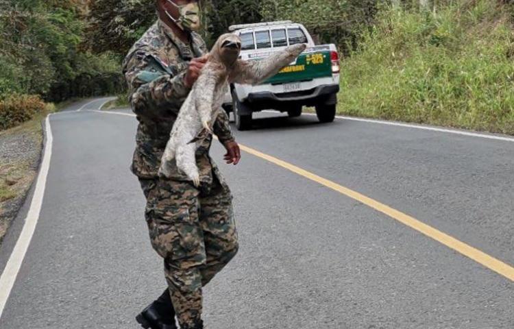 Personal del Senan rescata a oso perezoso en carretera de Darién
