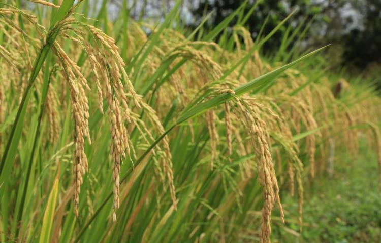 MIDA anuncia que ha pagado $23.9 millones a productores de arroz