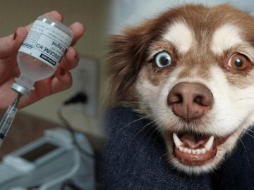Les aplicaron vacuna para perros a 100 en lucha contra el virus